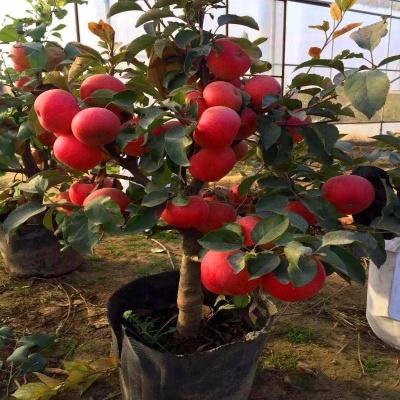 【矮化嫁接苹果树苗】苹果树盆栽地栽庭院室外苹果树当年结果
